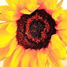 Translucent Sunflower by Cheri Sundra