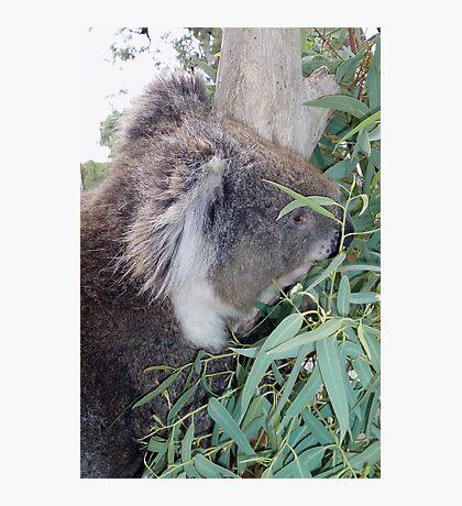 Koala munching lunch Photographic Print