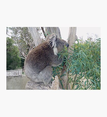 Koala still munching lunch Photographic Print