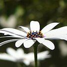 Daisy by balticblossom