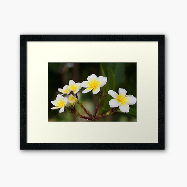 Frangipani leelawadee flowers Framed Art Print