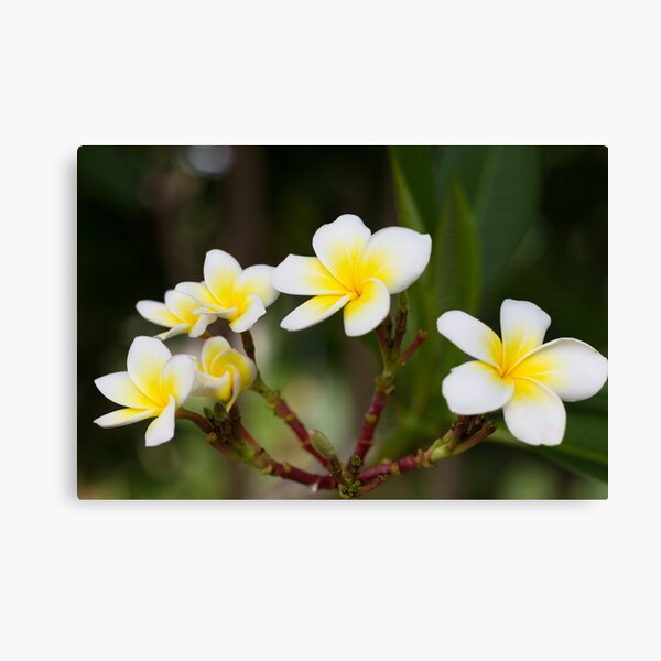 Frangipani leelawadee flowers Canvas Print