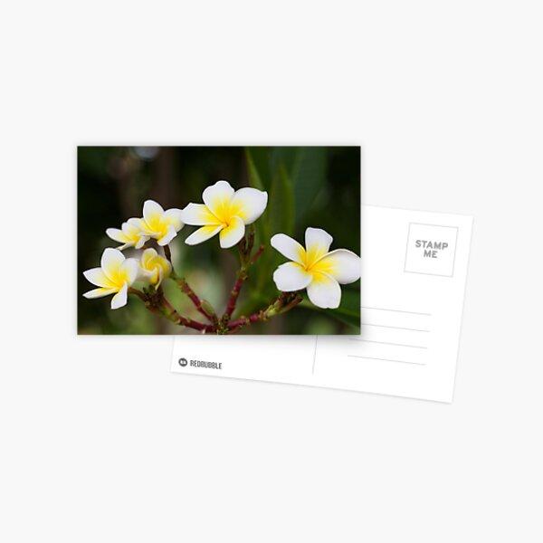 Frangipani leelawadee flowers Postcard