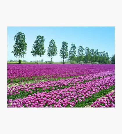 Purple Tulipfield Photographic Print