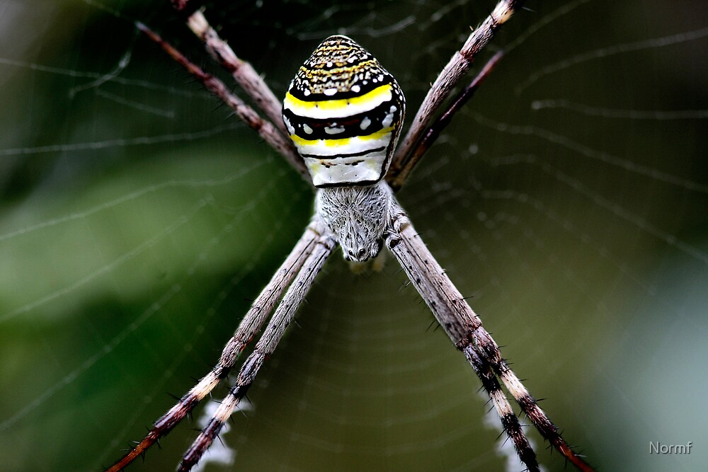 St Andrew's Cross Spider - Argiope Keyserlingi (female). by Normf