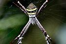 St Andrew's Cross Spider - Argiope Keyserlingi (female). by Normf