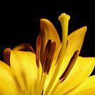 mellow yellow silly lily by Kimberley Davitt