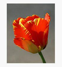 Flaming Tulip! Photographic Print