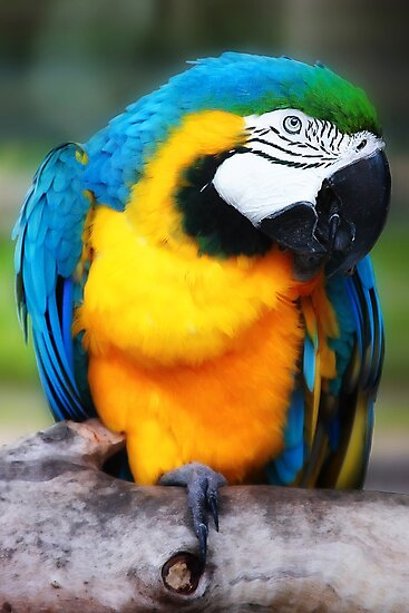 Blue and Gold Macaw by Didi Bingham