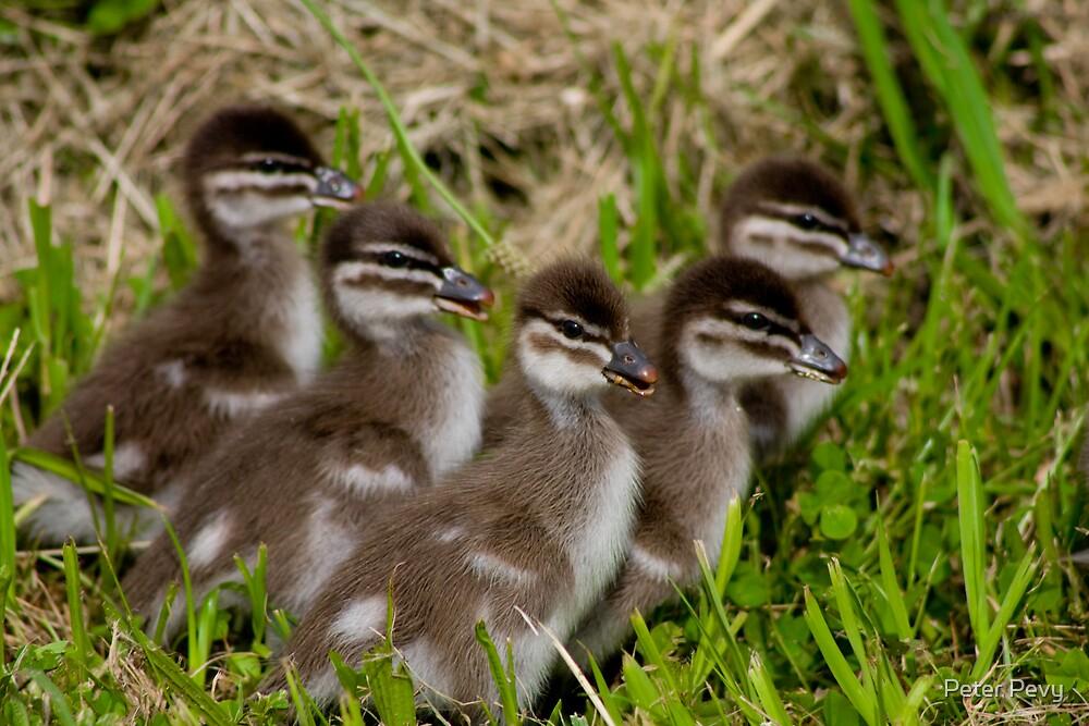 Wood Duck Ducklings by Peter Pevy