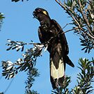 Yellow-Tailed Black Cockatoo by Les Boucher