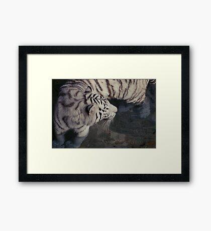 White Bengal Tiger Framed Print