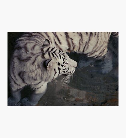 White Bengal Tiger Photographic Print