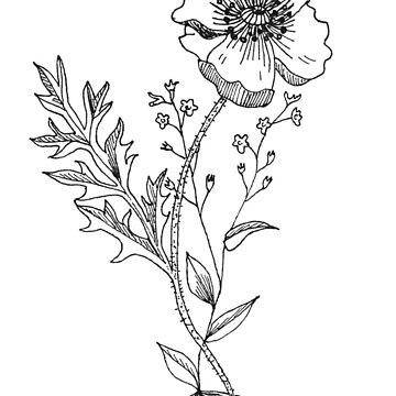 Poppy botanical drawing by thethinks