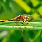 Dragonfly Orange on Green  by Geoffrey