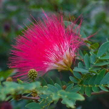 Pink Pom Pom by DeborahMcGrath