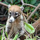 Cute Little Coati by Teresa Zieba