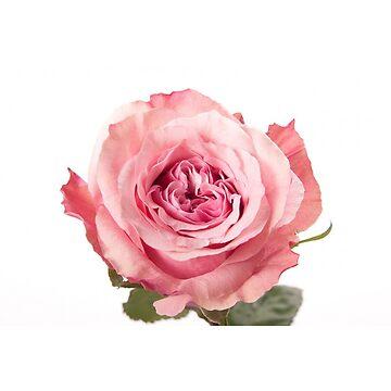 Rose Pants by Daniel-Hoving