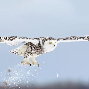 Snowy owl blast-off by darby8