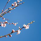 Peach tree on blue by Delphine Comte