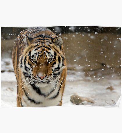 Tiger Snow Poster