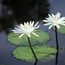Lillies on the pond by David  Geerlings