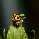 Lady Beetle on Bud by Andrew Durick