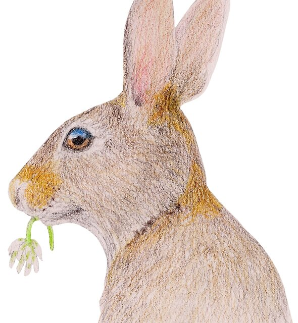 Rabbit with White Clover by Linda Ursin