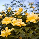 In the midst of yellow roses by Delphine Comte