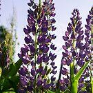 Lupins purple by Marina Sterina