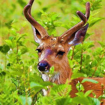 Wilderness Deer - Jasper Alberta Wildlife by NaturePrints