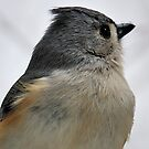 Tufted Titmouse by Bill Miller