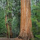 Dwarfed by the Giant Sequoia Tree by Hotaik  Sung