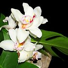 Delicate Cymbidium Orchid by vette