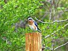 Bluebird on a Fence Post by FrankieCat