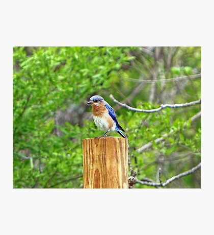 Bluebird on a Fence Post Photographic Print