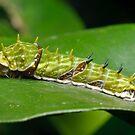Orchard Swallowtail Caterpillar by Andrew Trevor-Jones