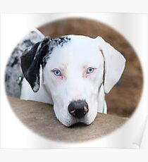 Catahoula Cur From Louisiana Poster