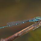 Eastern Billabongfly by Andrew Trevor-Jones
