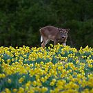 Deer and Daffodils by Douglas  Stucky