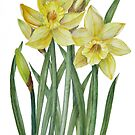Watercolour Daffodils Botanical Illustration by Farida Greenfield