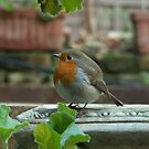 Robin Red Breast by Alice McMahon