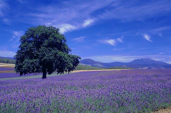 The Bridestowe Estate Lavender Farm, Tasmania, Australia by Debbie Steer