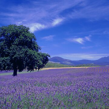 The Bridestowe Estate Lavender Farm, Tasmania, Australia by DebbieSteer