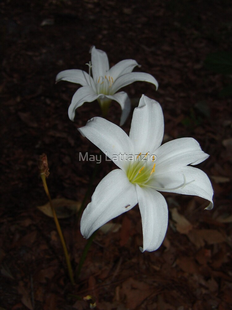 Atamasca Lilies by May Lattanzio