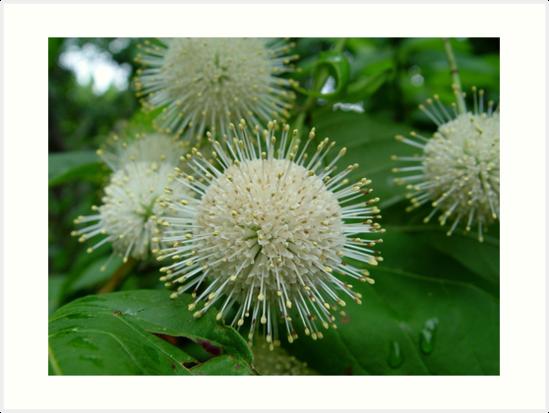 Buttonbush by May Lattanzio