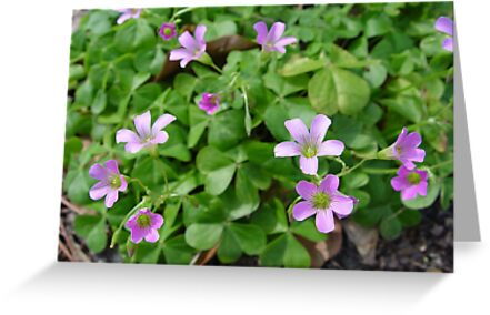 Wood Sorrel by May Lattanzio