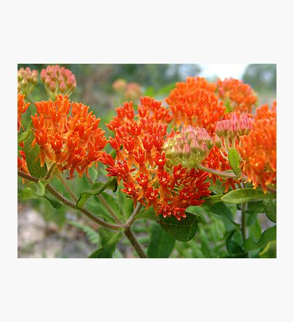 Asclepsia (Butterfly Weed) Photographic Print