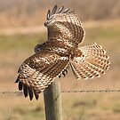 Red Tailed Hawk by SuddenJim