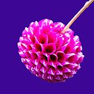 Pink Striped Dahlia  by SiobhanFraser